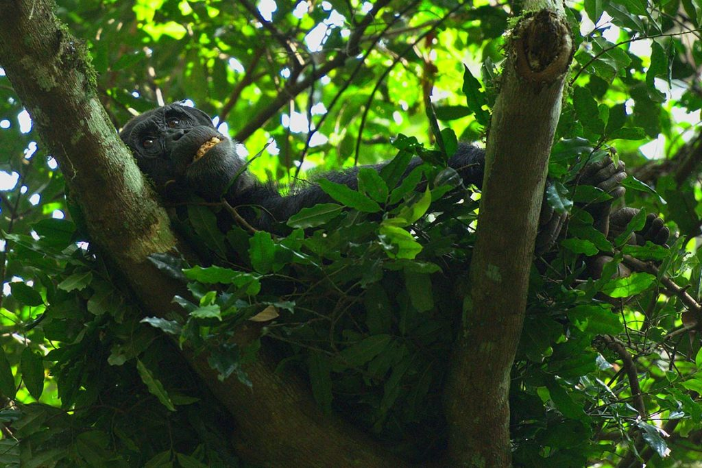 Kibale Forest's Chimpanzee Habituation Experience (CHEX)