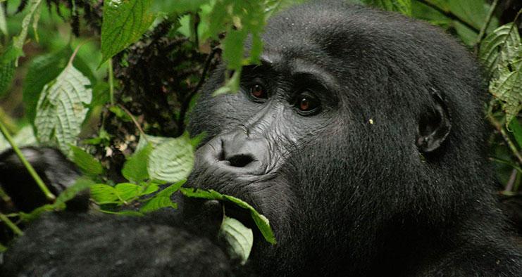 Gorilla Safari Uganda Luxury Holiday