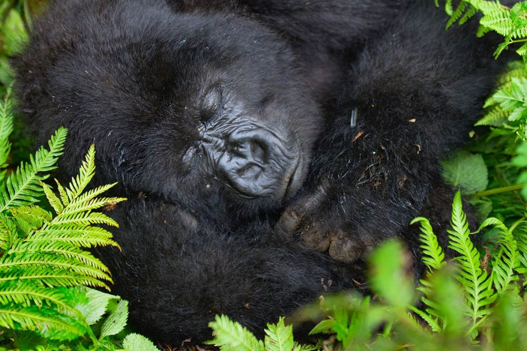 Conservation and Mountain gorillas