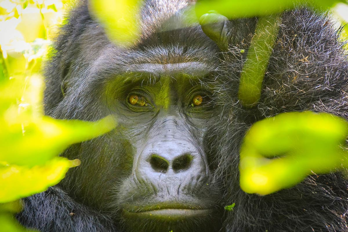 Uganda Gorilla Trekking: A trip of a lifetime