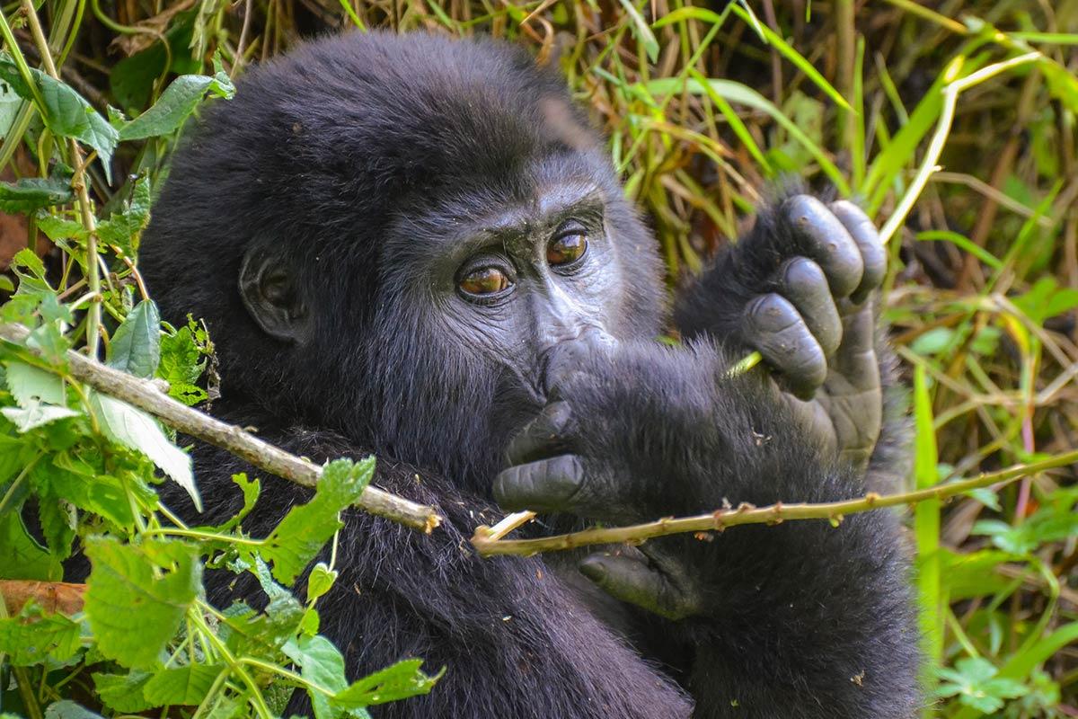 gorilla trek in Uganda
