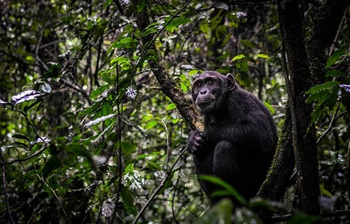 Chimpanzee Trekking & Habituation Experience