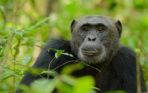 Chimpanzee Trekking Uganda Tour