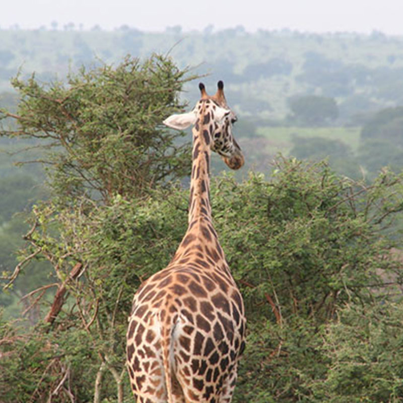 11 Days Classic Africa Safari In Uganda