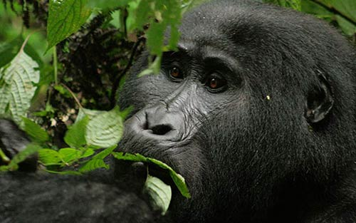 Gorilla Safari Uganda Luxury Holiday