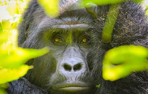 Gorilla Trekking & Habituation