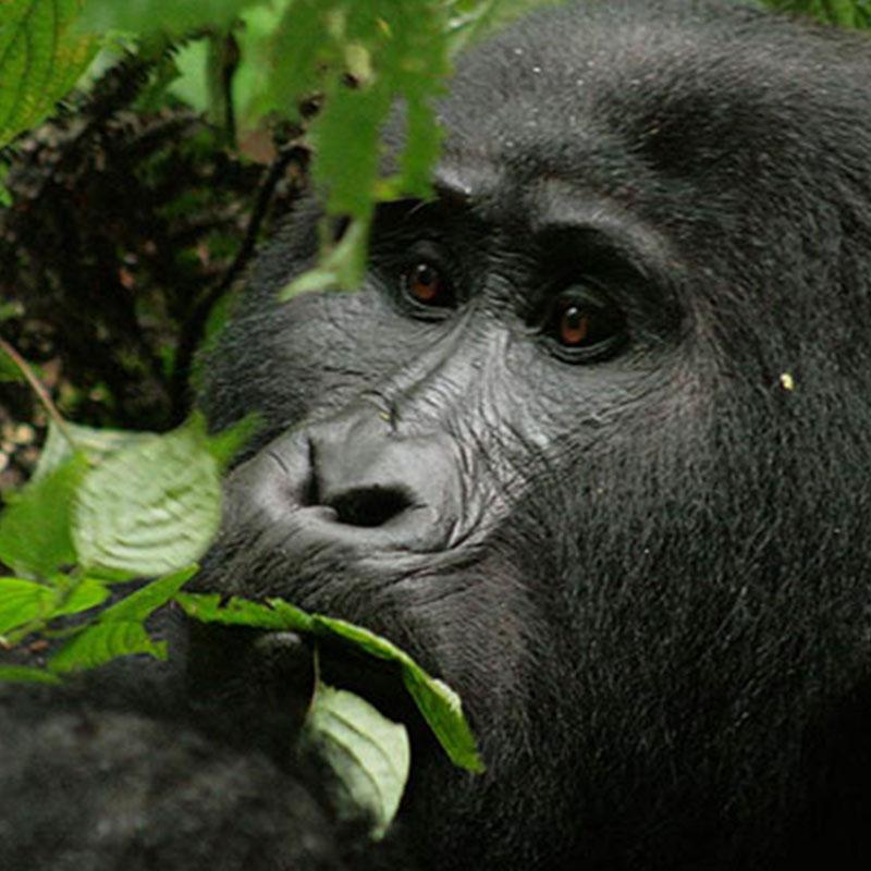 5 Day Gorilla Safari Uganda Luxury Holiday