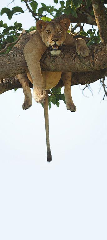 Uganda Ishasha tree climbing lions
